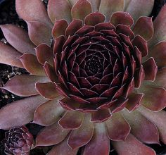 Sempervivum Oh My from Simply Succulents