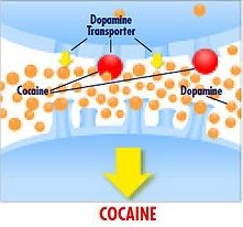 New Insight into How the Brain 'Learns' Cocaine Addiction - Researchers used different types of experiments in order to piece together how dopamine released in response to cocaine works with mGluR5 and immediate early genes to switch cells into synapse-strengthening mode. This image shows the exaggerated dopamine release in response to cocaine. More at NeuroscienceNews.com.