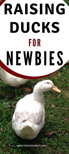 Are you planning to get ducks for the first time this spring? Before those ducklings arrive, learn what you need to know about raising ducks as a beginner. Backyard Ducks, Backyard Poultry, Backyard Chicken Coops, Backyard Farming, Chickens Backyard, Raising Ducks, Raising Chickens, How To Raise Ducks, Pet Ducks