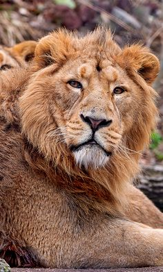 The Asiatic Lion is now found exclusively in the Gir Forest National Park of India and are down to a population of around 500 #Lion