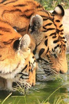 TIgers, Ukutula Lion Park, South Africa