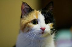 ♥46 very cute kitten face | Baby the Lovely Calico Kitty