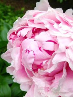 Pink Peonies - Spring has sprung and it's time to plant your favorite perennials in your garden beds and containers. Here are some tips for choosing the right perennials.