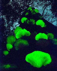 hongos bioluminiscentes brillando en la oscuridad. Omphalotus japonicus  es conocido de Japón y otros sitios en el este de Asia, donde se le considera como una seta venenosa.
