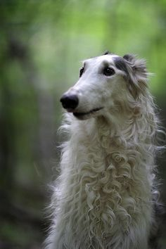 Borzoi I'm liking these sight hounds more and more