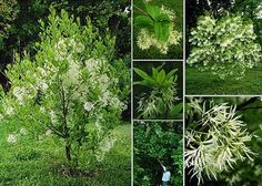 Chionanthus virginicus: native, beautiful spring display, hardy to zone 3