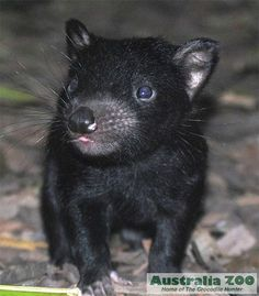 "Newborn Tasmanian Devil, Australia Zoo. (Australia's on my ""to-do""!)"