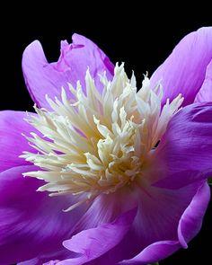Peony, purple, flower, macro - ID: 5752696 © Amalia Elena Veralli