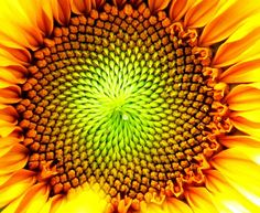 #Sunflower, #naturepics, #ParcDownsviewPark, #DownsviewPark, #Toronto #Ontario, #Canada, #CanadaLands