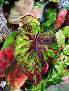 "Caladium ""Keladi"" https://www.houseplant411.com/houseplant/caladium-how-to-grow-care"