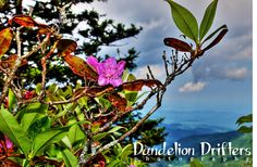 Vivid Flower Photography Rhododendron Digital by DandelionDrifters, $5.00