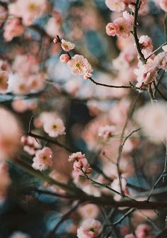 Cherry blossom trees in bloom! Spring Tree, Spring Blossom, Henri Matisse, Dream Garden, Pretty Pictures, Life Is Beautiful, Planting Flowers, Beautiful Flowers, Bouquet