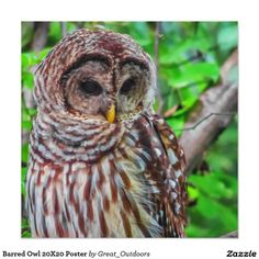 Barred Owl 20X20 Poster