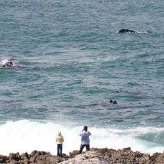 The majestic Southern Right whale can be spotted year round but they are seen in abundance between June and November when they come to breed and calve in Walker Bay. #whalewatching #hermanus #southafrica