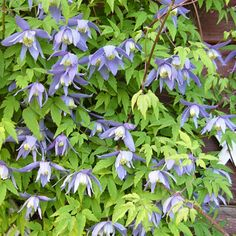 Clematis, Perennials, Herbs, Make It Yourself, Flowers, Plants, Gardens, Dreams, Blue