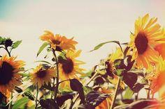 sunflowers ♡