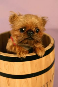 Brussels Griffon. Reminds me of an old dog snuggles. I had one and I want another :(
