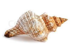 3280820-681128-sea-shell-isolated-on-white-background.jpg (480×320)
