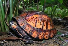 """♥ Pet Turtle ♥  A Wild Indochinese Box Turtle, sadly, a """"critically endangered"""" species."""