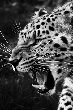 A amour leopard snarling - Animal Photos Lion Wallpaper, Animal Wallpaper, Jaguar Wallpaper, Animals And Pets, Baby Animals, Cute Animals, Jaguar Tier, Jaguar Animal, Leopard Tattoos