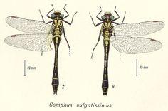 Gomphus vulgatissimus