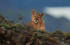 Puma en la Patagonia Chilena.