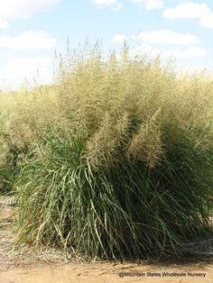 Windbreaker Giant Sacaton Grass- Sporobolus wrightii 'Windbreaker'