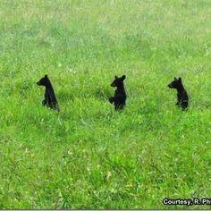 Three Black Bear Cubs~~Cades Cove, Great Smoky Mountains National Park, TN