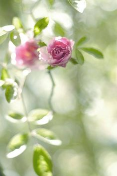 Ideas Spring Nature Photography Flowers Ana Rosa For 2019 Ikebana, Nature Photography Flowers, Bokeh Photography, Spring Nature, Rose Cottage, Flower Wallpaper, Beautiful Roses, Pretty Flowers, Pink Roses