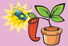 planta-carnivora-curiosidades Elas capturam insetos. A maior parte das plantas carnívoras que existem vive em locais onde faltam nutrientes no solo, por isso elas completam a alimentação com insetos.  Com suas cores e seu cheiro fortes, essas plantas atraem as presas para armadilhas que variam em cada espécie. Algumas agarram os insetos com folhas em forma de concha. Outras prendem o bichinho com substâncias adesivas.  As maiores são as Nepenthes, que chegam a mais de 10 metros de…