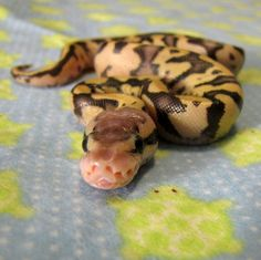 Firefly Ball Python- i learned yesterday that the holes above it's mouth are actually heat sensors. Python Royal, Cute Reptiles, Reptiles And Amphibians, Baby Animals, Cute Animals, Baby Snakes, Python Regius, Ball Python Morphs, Cute Snake