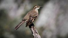 Foto pedreiro-do-espinhaço (Cinclodes espinhacensis) por Diego Murta | Wiki Aves - A Enciclopédia das Aves do Brasil