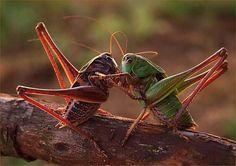 grasshopper: Round 2.....Fight!