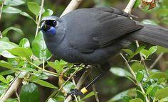 Egg Swap for Operatic New Zealand Birds a Success, but Invasive Predators Create Discord. Very interesting article.