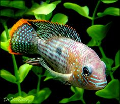 47 Best South American Cichlids Images Freshwater Aquarium Fish