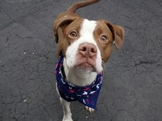 A1034815_ c GASKET  WILL DIE TODAY IF WE CANT FIND ADOPT RESCUE OR FOSTER PLEASE HELP HE IS A BABY !! SHARE PIN PLEDGE TO SAVE HIME !!!