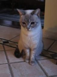 Mika is an adoptable Siamese Cat in Newmarket, ON. This beautiful female Lynx Point Siamese will make a wonderful companion for someone who wants a quiet but affectionate friend. Mika is approximately...