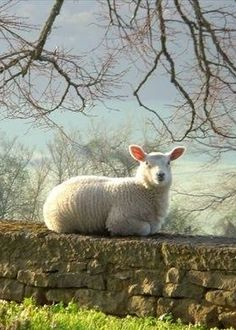♔ Sheep on a wall enjoying the warm stones in the Winter sun.