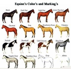 Educational chart of coat and color patterns of horses. Features the most popular breeds of horses Horse Color Chart, Horse Coat Colors, Horse Camp, Horse Horse, Horse Tips, Horse Gear, Horse Markings, Horse Anatomy, Horse Facts