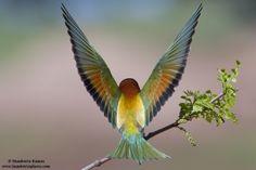 Animais/Abelharuco comum (Merops apiaster)