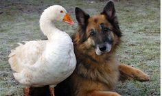 Puriton Horse and Animal Rescue in Somerset, England saved Rex from being put down & a goose became his very best friend and helped him transform from an aggressive dog to a great dog. Rescue Dogs, Animal Rescue, Unlikely Animal Friends, Dangerous Dogs, Odd Couples, Schaefer, Aggressive Dog, Mundo Animal, German Shepherd Dogs