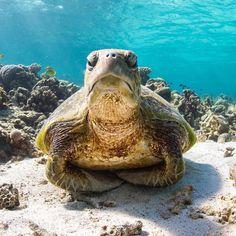 The Galapagos Tortoise Fact Sheet Cute Turtles, Baby Turtles, Sea Turtles, Turtle Spirit Animal, Cute Baby Animals, Funny Animals, Image Tatoo, Sea Turtle Pictures, Turtle Life