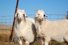 The Question: Sheep have lanolin in their wool to keep the fibers from matting together and protect them from the sun. Angora goats also have a kind of grease, or wax. Is it also lanolin? Is lanoli… In China, Small Goat, Asian Eyes, Goat Farming, Bath Body Works, Hobby Farms, Biotechnology, Cashmere Wool, Stuffed Animals