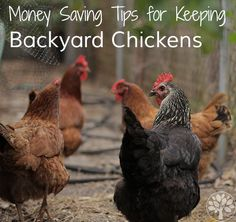 Money Saving Tips for Keeping Backyard Chickens - The Earthy Mama