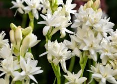 Tuberose - plant bulbs just behind boxwood hedge. tall spikes covered in fragrant flowers Boxwood Hedge, Planting Bulbs, Hedges, Organic Gardening, Shrubs, Tricks, Flora, Youtube, Spikes