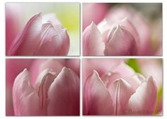 Pink Tulip Photo Series  Flower Photography by BambersImages