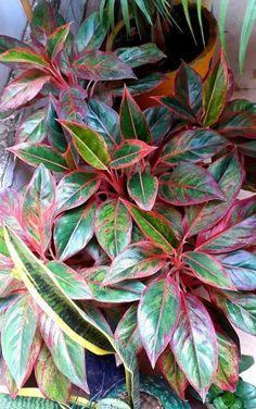Pink Plant, Indoor Plants, Gardening, Inside Plants, Lawn And Garden, Horticulture