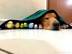 Meet Bob, an adorable Golden Retriever that lives in Brazil with his 9 best friends; 8 birds and one hamster to be exact. Animals And Pets, Funny Animals, Cute Animals, Hamsters, All Dogs, Dogs And Puppies, Odd Couples, Cute Animal Pictures, Funny Pictures