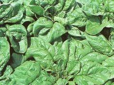 A MAGYAROK TUDÁSA: Gyógyító növényeink 1./b rész Spinach, Vegetables, Veggies, Vegetable Recipes