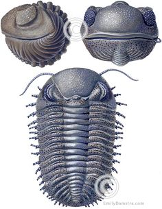 Devonian trilobite reconstruction Eldredgeops (Phacops) rana This fossil is from the Devonian of Ohio, USA. I based this reconstruction on actual fossils, suggestions from paleontologists, and on p… Extinct Animals, Prehistoric Animals, Old Rock, Ammonite, Typography Prints, Fashion Studio, Spiders, Artwork, Nature